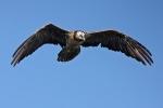 5cy? Bearded Vulture.