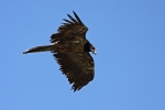 3cy Bearded Vulture.