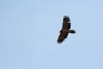 2cy Bearded Vulture