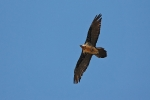 <b>Bearded Vulture <i>(Gypaetus barbatus)</i></b>