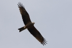 <b>Black Kite <i>(Milvus migrans)</i></b>