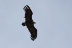 4cy Black Vulture.