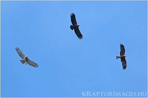 A Short-toed Eagle together with a Lesser Spotted Eagle and a Black Kite at Batumi, Georgia