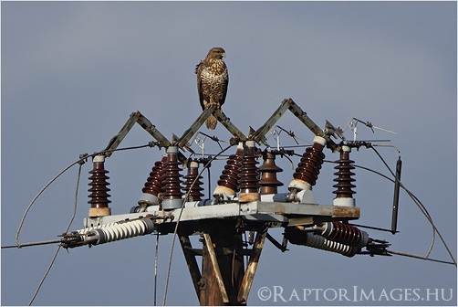 Common Buzzard on a switch-pole