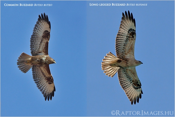 Common and Long-legged Buzzard