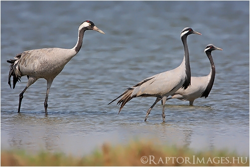 Common and Demoiselle Cranes