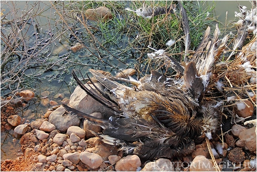 Dead Steppe Eagle, Oman