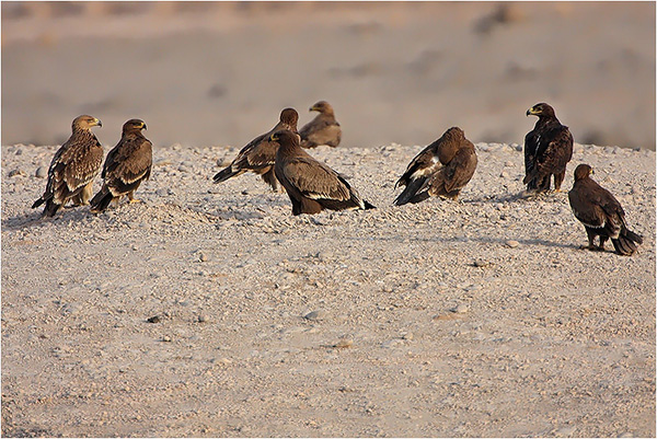 Eagles in Dhofar, Oman, December, 2012