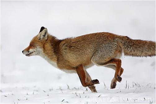 http://raptorimages.hu/wp-content/gallery/blog/fox_img_9734_w500_kovacsa.jpg