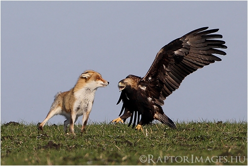 Eastern Imperial Eagle attacks Fox.