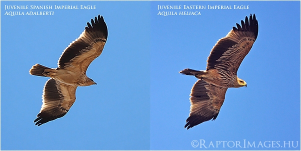 Spanish and Eastern Imperial Eagles