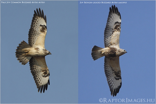 Common and Rough-legged Buzzard