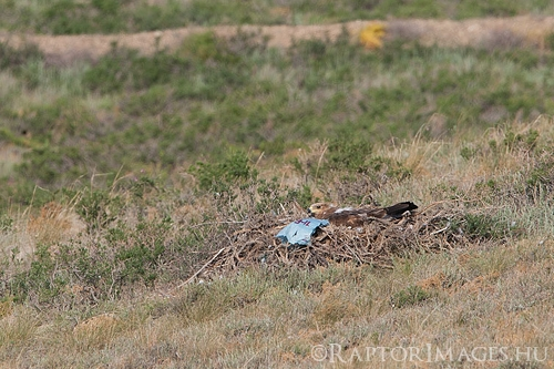 Steppe Eagle nest