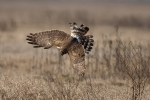Hunting Hen Harrier