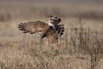 hunting-hen-harrier