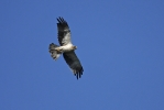 Adult Booted Eagle.