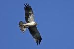 <b>Booted Eagle <i>(Hieraaetus pennata)</i></b>