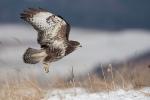 3cy Common Buzzard