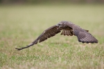 <b>Common Buzzard <i>(Buteo buteo)</i></b>