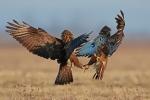 Hunger II. (Common Buzzards).