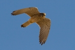 <b>Common Kestrel</b>  <i>(Falco tinnunculus)</i>