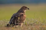 Juvenile Eastern Imperial Eagle at dawn