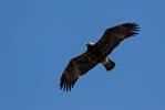 Subadult Imperial Eagle.