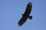 Subadult Eastern Imperial Eagle.
