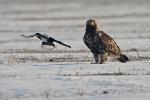 Immature (5th-plumage) Eastern Imperial Eagle