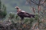 Immature Imperial Eagle.