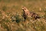<b>Eastern Imperial Eagle <i>(Aquila heliaca)</i></b>