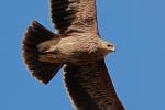 Juvenile Eastern Imperial Eagle.