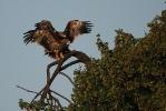 Juvenile Imperial Eagles.