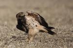 IImmature (3rd-plumage) Eastern Imperial Eagle
