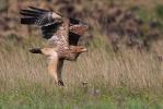 Juvenile Imperial Eagle.