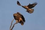 Juvenile female Imperial Eagle.