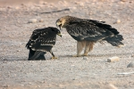 Juvenile Eastern Imperial Eagle with juv Greater Spotted Eagle.