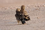 Juvenile Eastern Imperial Eagle with juv Steppe Eagle.