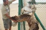 Lelőtt és kerítésre akasztott fiatal (2cy) parlagi sas és kígyászölyv
