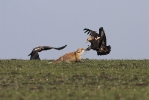 Öreg parlagi sas pár rókát támad.