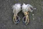 Áramütött parlagi sas lábai.