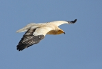 Adult Egyptian Vulture.