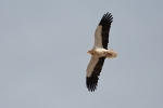 <b>Egyptian Vulture <i>(Neophron percnopterus)</i></b>
