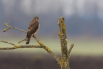 2nd cy Sparrowhawk