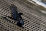 Juvenile Sparrowhawk.