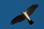 <b>Eurasian Sparrowhawk <i>(Accipiter nisus)</i></b>