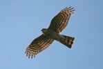 Immature male Sparrowhawk.
