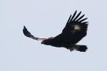 <b>Szirti sas <i>(Aquila chrysaetos)</i></b>