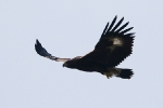<b>Golden Eagle <i>(Aquila chrysaetos)</i></b>