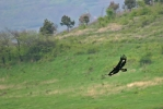 Hunting 2cy Golden Eagle.